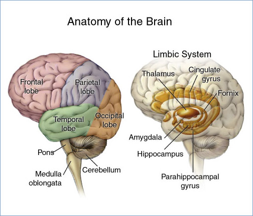 Cerebral cortex (otak manusia seperti yang kita kenal bentuknya itu) dan sistem limbik.